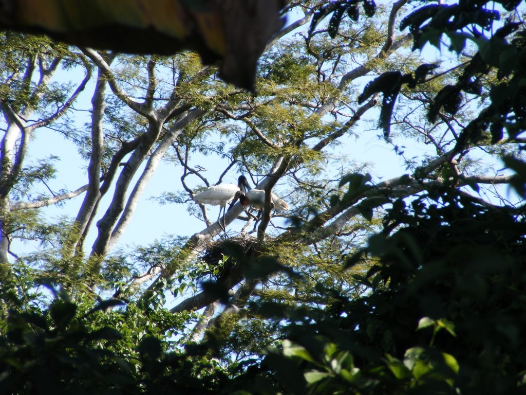 Endangered Jabiru in the Palo Verde National Park. Photo credit: Alice Alonso