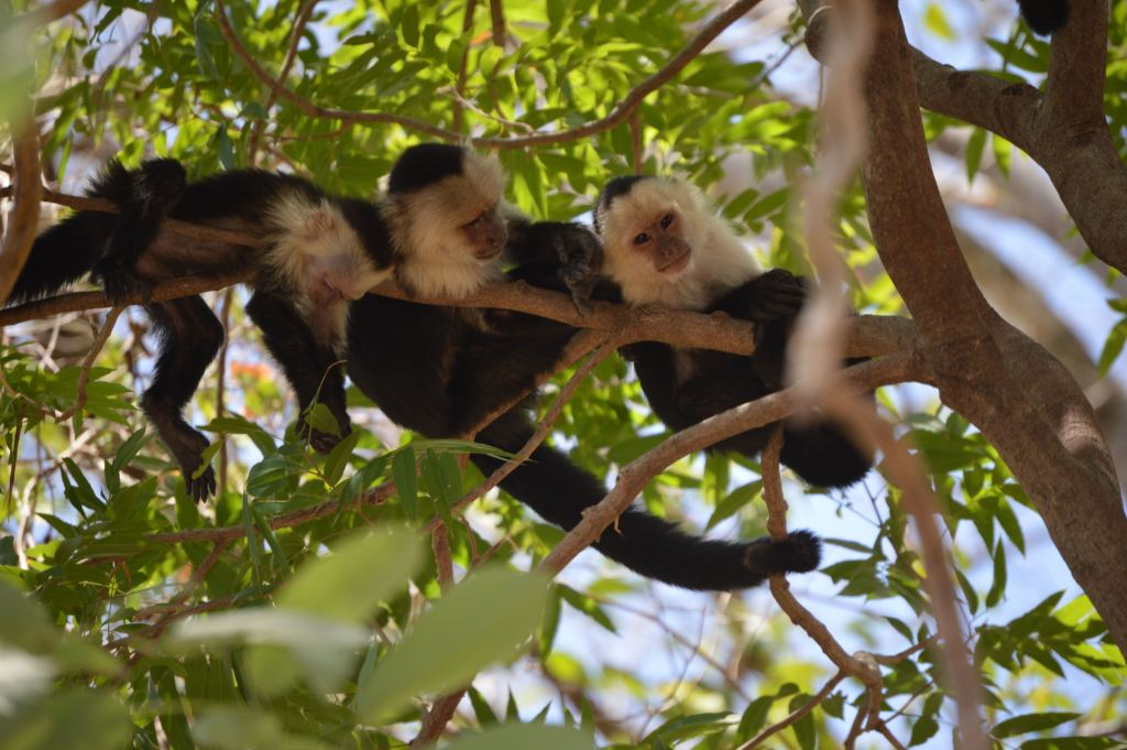 Monkeys hang from a tree branch in Palo Verde National park