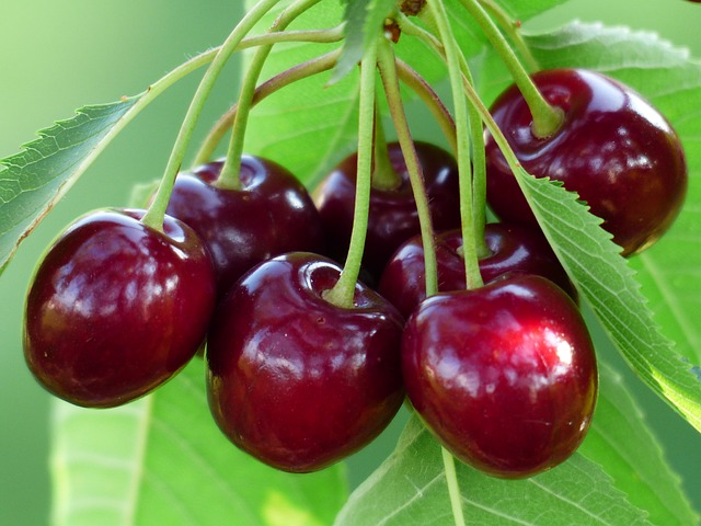 Bright red cherries on a tree