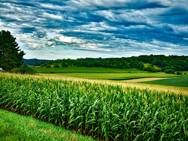 Corn field with a blue cloudy sky background