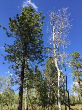 A dead Aspen tree next to a living Ponderosa tree
