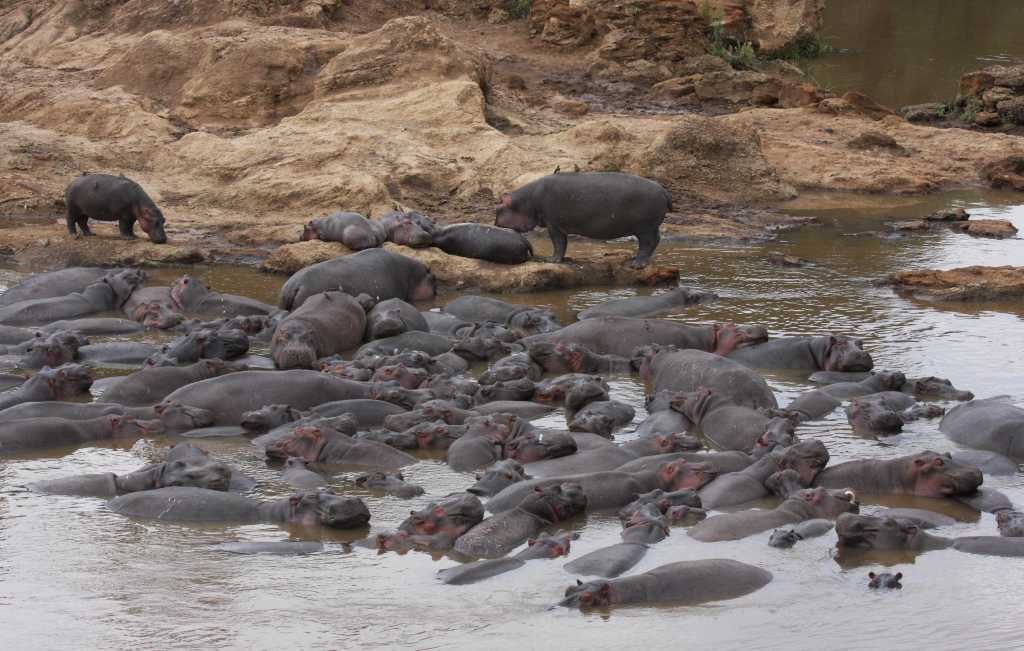Image of hippopotami in a hippopotamus pool in the east African Mara River