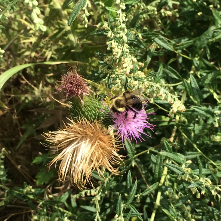 Bumble Bee on Spear Thistle