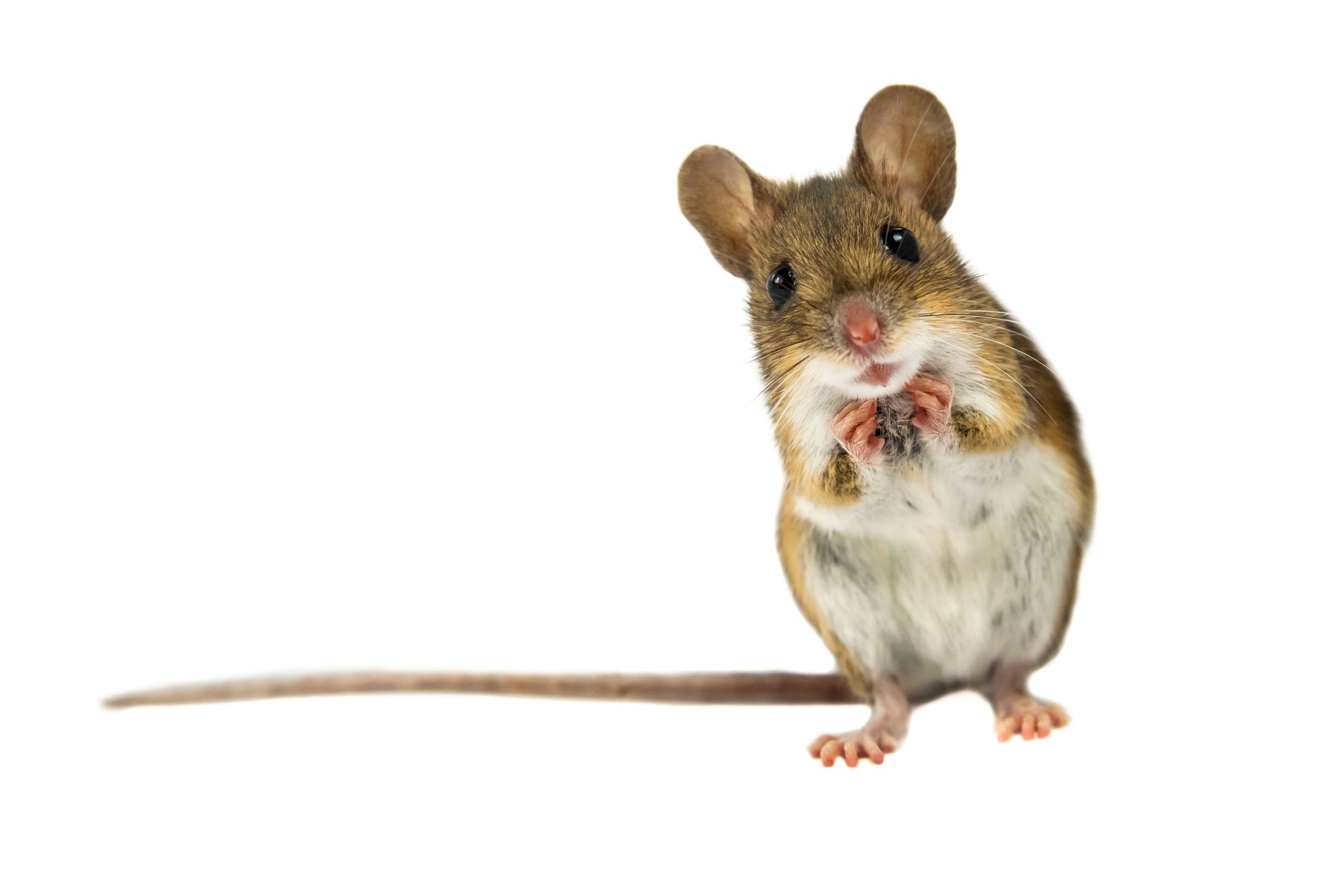 Deer Mouse Infestation Information & Control   Environmental Pest ...