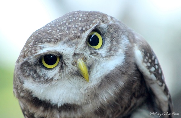 Spotted Owlet-1