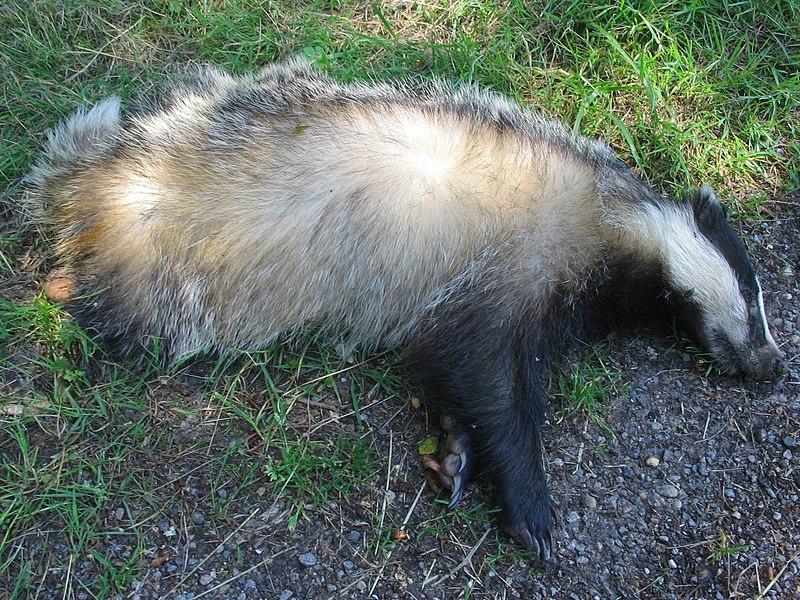 La LPO Auvergne-Rhône-Alpes demande de limiter la chasse au blaireau
