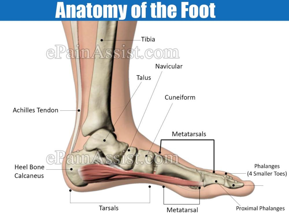 medium resolution of  https www epainassist com images article images anatomy of the foot jpg