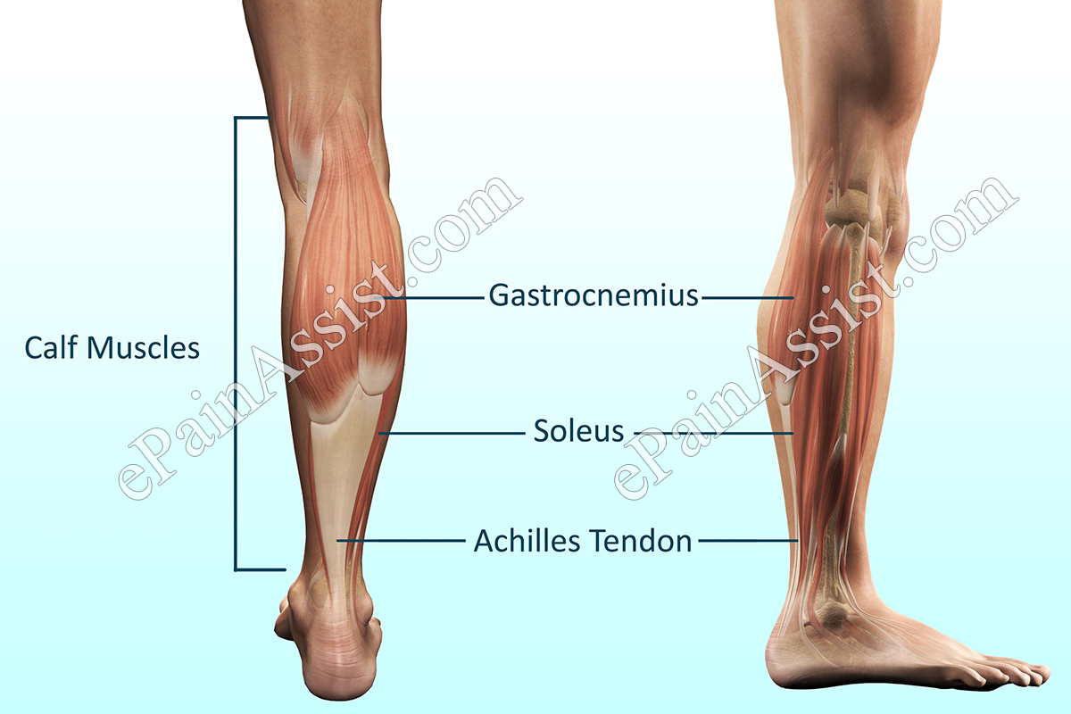 Calf-muscles-inner.jpg (480×320)
