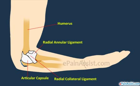 Radial Collateral Ligaments