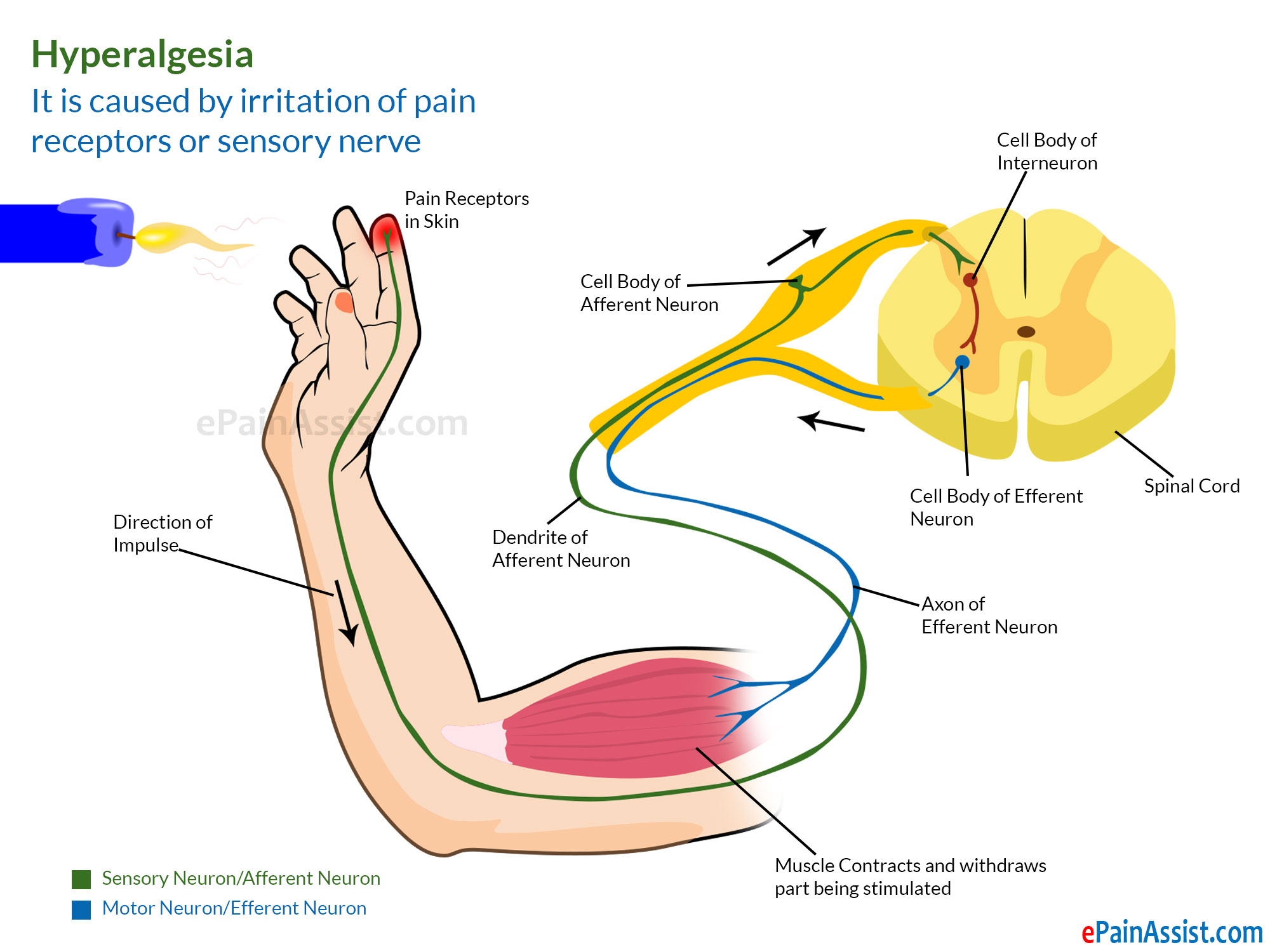simple reflex arc diagram prestolite marine alternator wiring pain resting potential