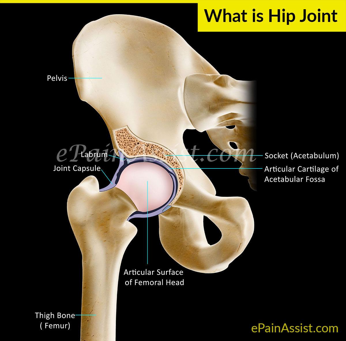 hight resolution of anatomy of hip joint or acetabulofemoral joint and its function