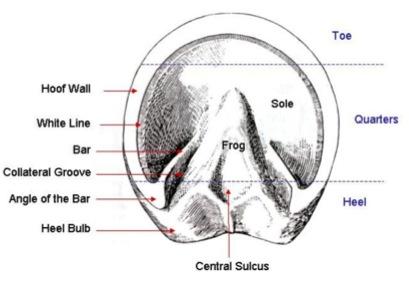 Hoof Anatomy – A Beginner's Guide