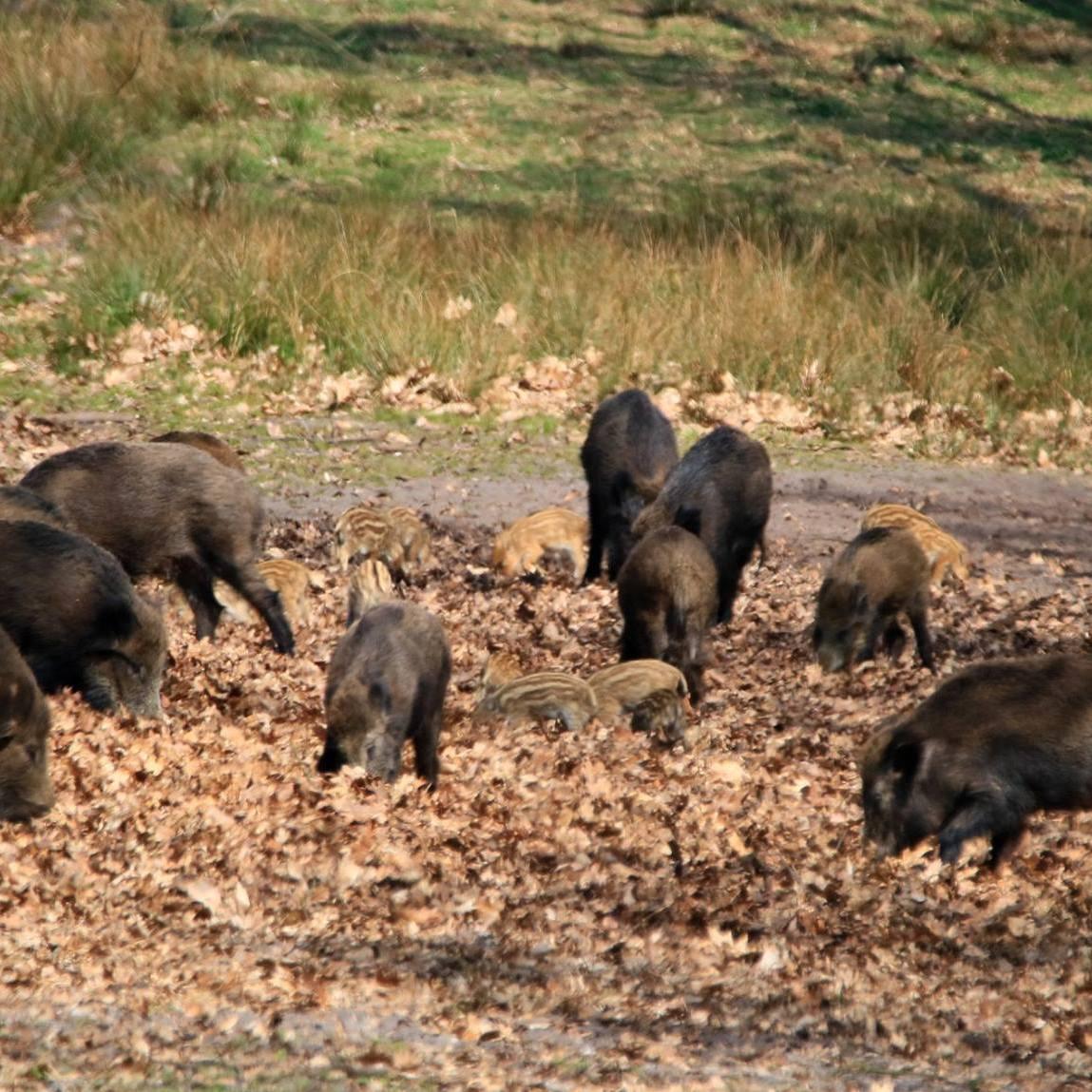 Rotte wilde zwijnen op de Veluwe