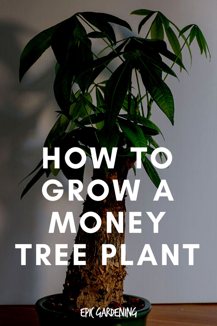 Money Tree Plant Pachira Aquatica Care and Growing Tips
