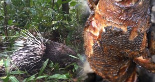 Primitive Technology: Hunting Porcupine By Trap and Cooking