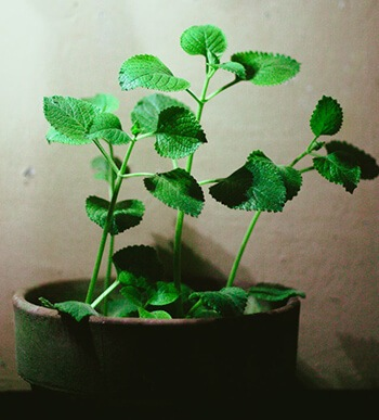 Oregano can help reduce inflammation and congestion in lungs