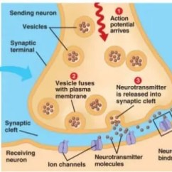 Synapse Diagram Label 95 Mustang Gt Alternator Wiring Structure Of Diagrams Background To Seizures Epilepsy Research Uk Rh Epilepsyresearch Org Chemical Nerve
