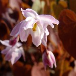double-flowered Epimedium xyoungianum 'Tamabotan'