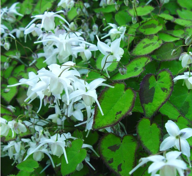 Epimedium x 'Serendipity' white flowers maroon speckled leaves