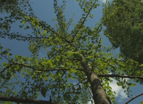 Дерево гинкго. Фото: Татьяна Скулкина/Великая Эпоха
