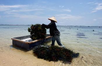 Морские водоросли популярны в восточной кулинарии. Фото: JEWEL SAMAD/AFP/Getty Images