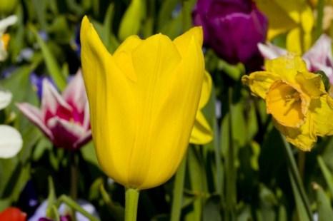 Редкие тюльпаны на выставке цветов в Канберре. Фото: ANNA/Великая Эпоха