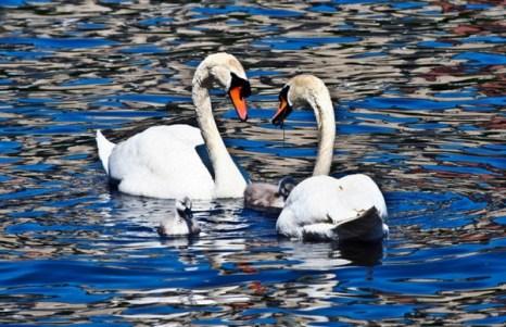 Лебеди и утки на пруду древнего замка в Стокгольме. Фото: lICHEN/NTDTV