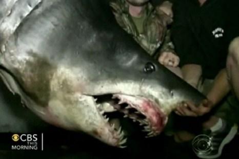 Гигантская акула мако весом почти 600 кг поймана рыбаком на реалити-шоу «Профессионалы» в понедельник, 10 июня 2013 года. Фото: CBS