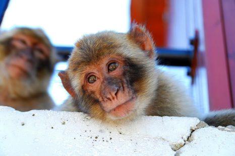 Браконьеры каждый год похищают тысячи обезьян из лесов Африки и Азии. Фото с сайта flickr.com