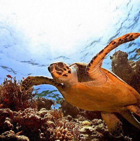 Морская черепаха плывёт в глубинах моря среди красивых рыб, моллюсков и коралловых рифов. Фото: Тарик Tinazay/AFP/Getty Images