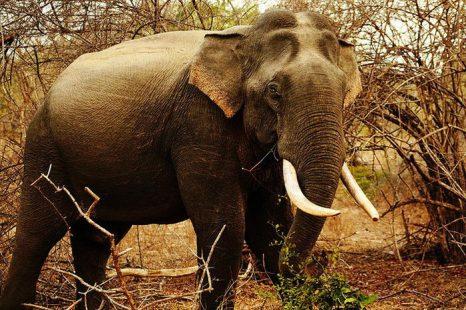 Браконьерство ставит под угрозу существование диких слонов в Африке. Фото с сайта flickr.com