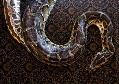 Питон. Фото: Ulet Ifansasti/Getty Images