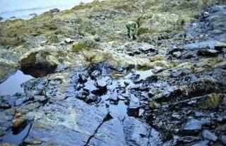 В жёлтое море попало 1,5 тыс. тонн нефти. На фото видно, что после отлива камни чёрные от нефти. Фото с epochtimes.com