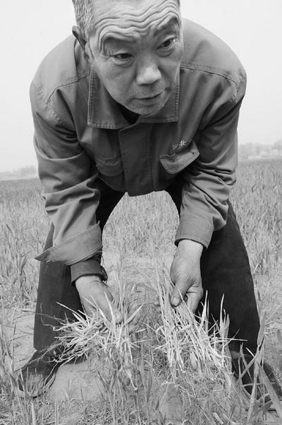 В результате загрязнения почвы и воды, значительно сократился урожай пшеницы. Уезд Юаньши провинции Хэбэй. Фото: morningpost.com.cn