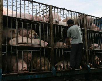 Рабочий из Ичана провинции Хубэй, Китай, проверяет свиней, которые доставляются на грузовике в южно-китайскую провинцию Гуандун в 2007 г. Недавно на заводе по переработке мяса в г. Цунхуа провинции Гуандун обнаружено 24 свиньи, в мясе которых найден препарат рактопамин, запрещенное в Китае химическое вещество, которое увеличивает синтез белка. Фото: China /Getty Images