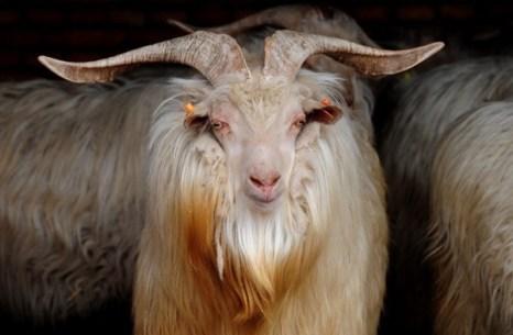 Кашемировые козы.Фото: / Фредерик Дж. Браун / AFP / Getty Images