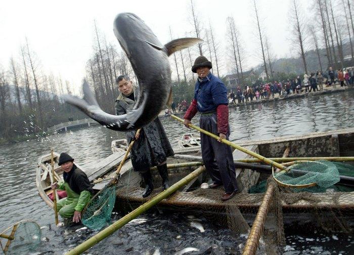 Власти Китая занижают количество выловленной рыбы.