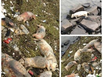 Свыше двух тысяч трупов свиней заполнило водоём в Шанхае. Фото с epochtimes.com