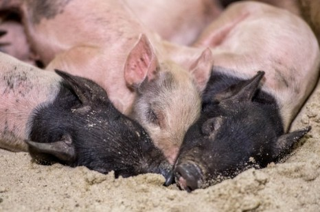 Лю вспомнил услышанную когда-то фразу: «Хоть свинарник и грязный, свиньям нравится там быть. Если вы не любите грязь, то вам лучше туда не лезть. Когда вы находитесь внутри, не пытайтесь вычистить его, или свиньи вас зацепят». Фото: Joe Klamar/AFP/Getty Images