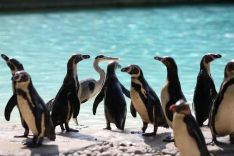 Цапля стоит в очереди с пингвинами, чтобы получить рыбку в лондонском зоопарке 17 июля 2013 года. Фото: Oli Scarff/Getty Images