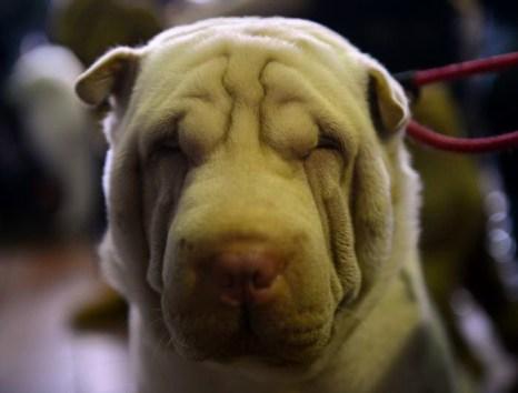 Выставка собак. Фото: John Moore/Getty Images