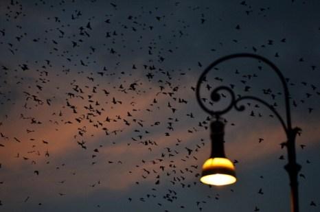 Скворцы мигрируют на фоне красивого заката в Риме. Фото: Gabriel Bouys/AFP/Getty Images
