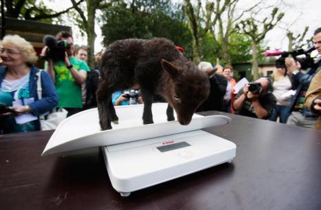Ягнёнок на инвентаризации в зоопарке Хагенберг. Фото: Joern Pollex/Getty Images