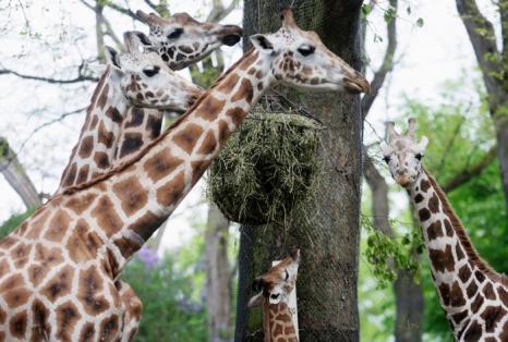Жирафы на инвентаризации в зоопарке Хагенберг. Фото: Joern Pollex/Getty Images