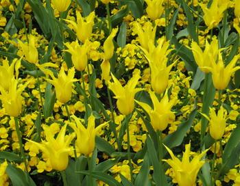 Жёлтые тюльпаны. Фото: Николай Богатырёв