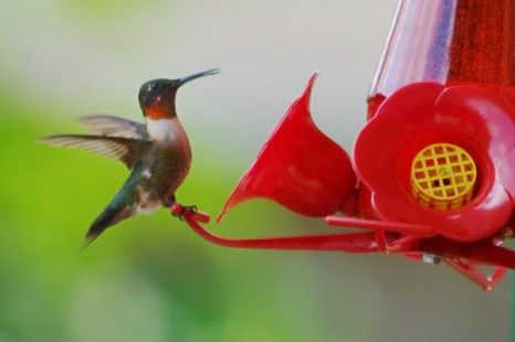 Самец рубинового колибри отличается от самок блестящим красным оперением в области горла. Фото: Cat Rooney/Великая Эпоха (The Epoch Times)