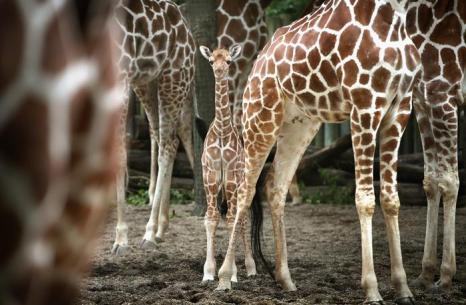 Детёныш жирафа впервые показался публике в бруклинском зоопарке 2 июля 2013 года.  Фото: Scott Olson/Getty Images