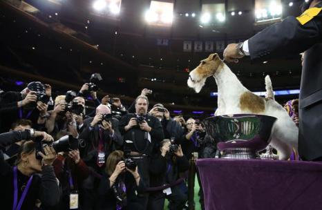 Жёсткошёрстный фокстерьер Скай стал победителем 2014 года в самой престижной выставке собак США — Вестминстерской, 11 февраля в Нью-Йорке.  Фото: Justin Sullivan/Getty Images
