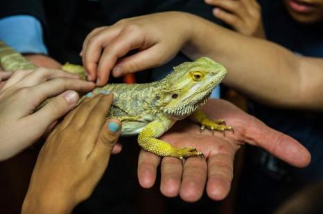 Австралийская ящерица бородатый дракон участвует в образовательной программе «Вхождение в контакт с природой» 12 октября 2013 года в зоопарке Рима (Италия). Фото: Giorgio Cosulich/Getty Images
