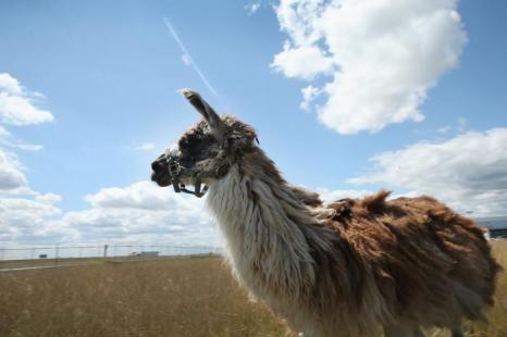 Благоустройством территории аэропорта OHare Airport в Чикаго (США) 13 августа 2013 года занимается стадо животных из 25 коз, овец, лам и ослов, которые ответственны за обрезку 120 акров густых кустарников. Фото: Scott Olson/Getty Images